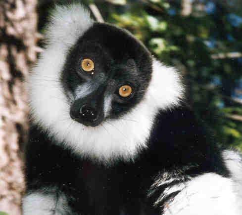 Lemur Lane A Little About Lemurs